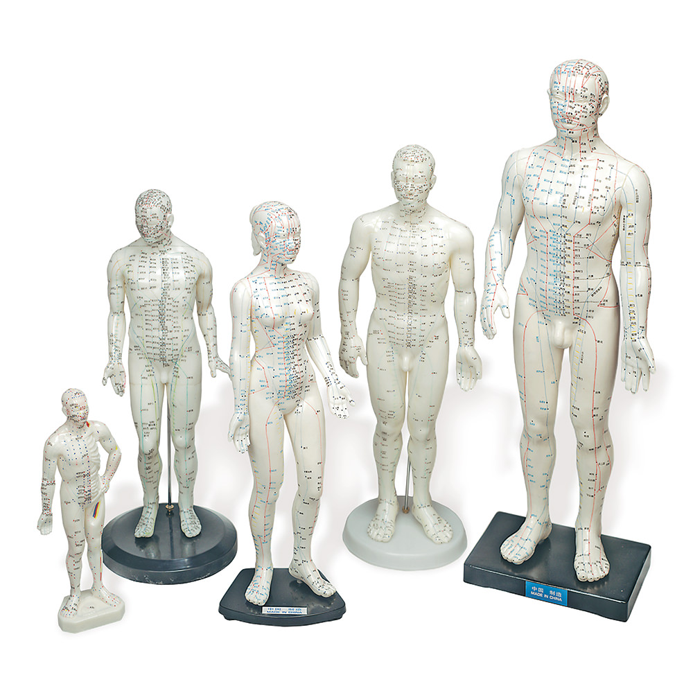 """11"""" Human Model Male - Lha121 - Special Populations Anatomical Charts Posters Models LHA121"""
